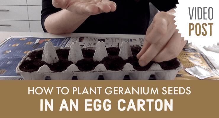 Video How To Plant Geranium Seeds In An Egg Carton Julia Dimakos