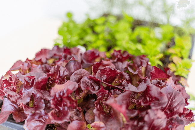 The 5 Types of Lettuce