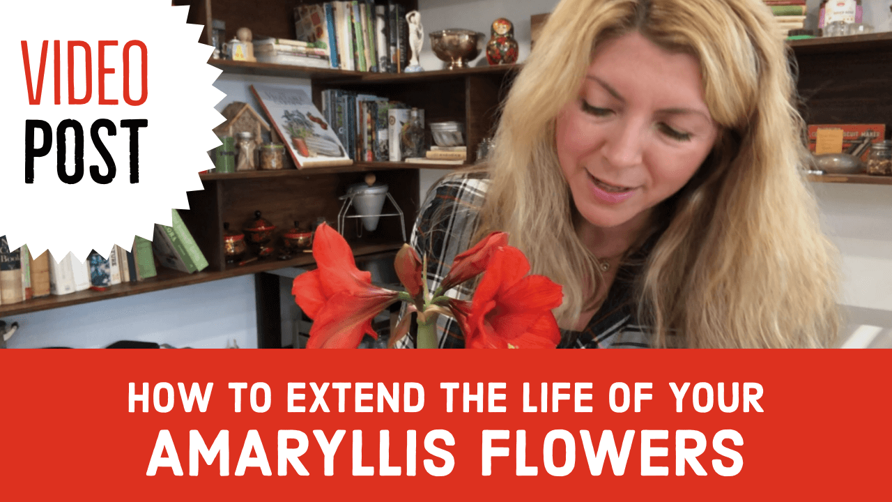 Video How To Extend The Life Of Your Amaryllis Flowers Julia Dimakos