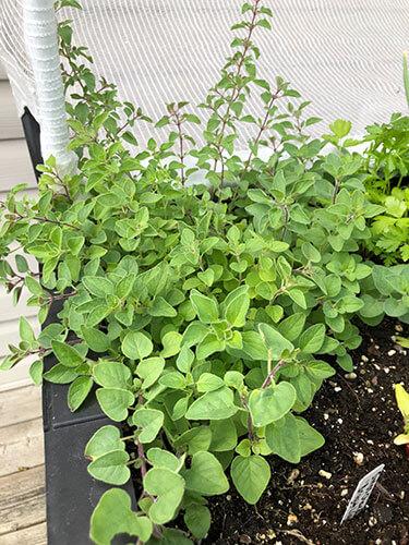 Top 10 Perennial Herbs for your Veggie Garden - Julia Dimakos