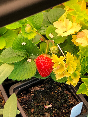How to Grow Strawberries from Seed